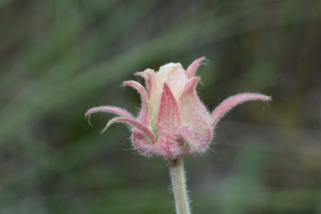 Prairie Smoke AKA Old Man's Whiskers