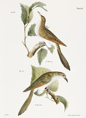 30.The Yellow-billed Cuckoo (Coccyzus americanus) 31. The Black-billed Cuckoo (Coccyzus erythrophthalmus) illustration from Zoology of New york (1842 - 1844) by James Ellsworth De Kay (1792-1851).