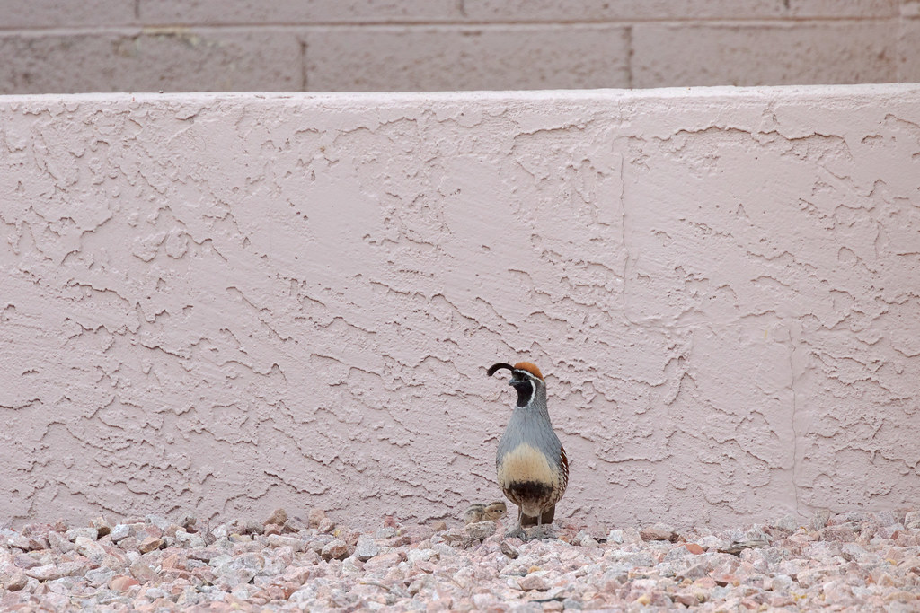 A Gambel's quail male stays with his chick after it got separated from the rest of the family
