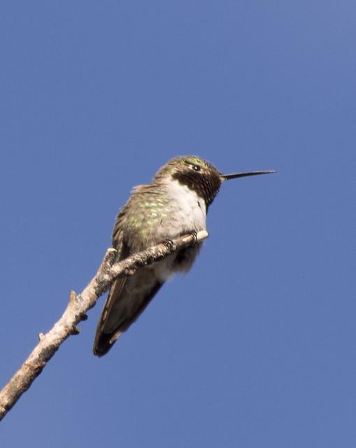 Broad-tailed Hummingbird, Coldwater Canyon, Olympus E-M5, Lumix G Vario 100-300mm F4.0-5.6 Mega OIS