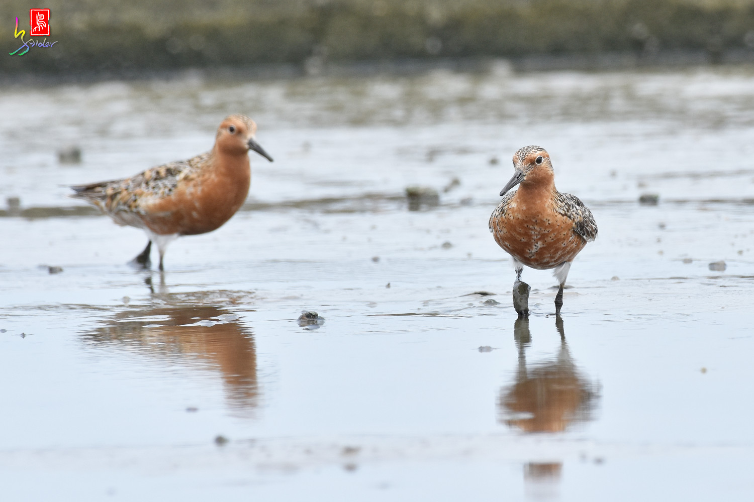 Red_Knot_0238