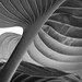 Hosta in Black and White by really_late_bloomer