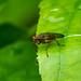 Snail-killing Fly - Tetanocera (robusta)