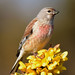 linnet 15 2018 male