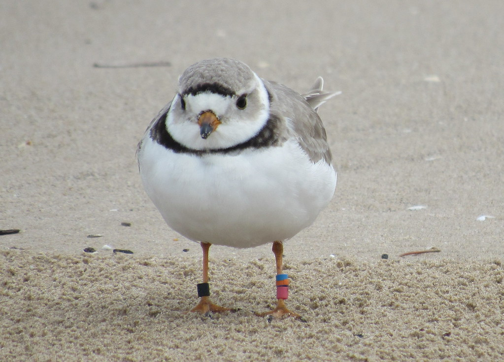 Piping Plover #3