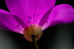 Peruvian-Succulent