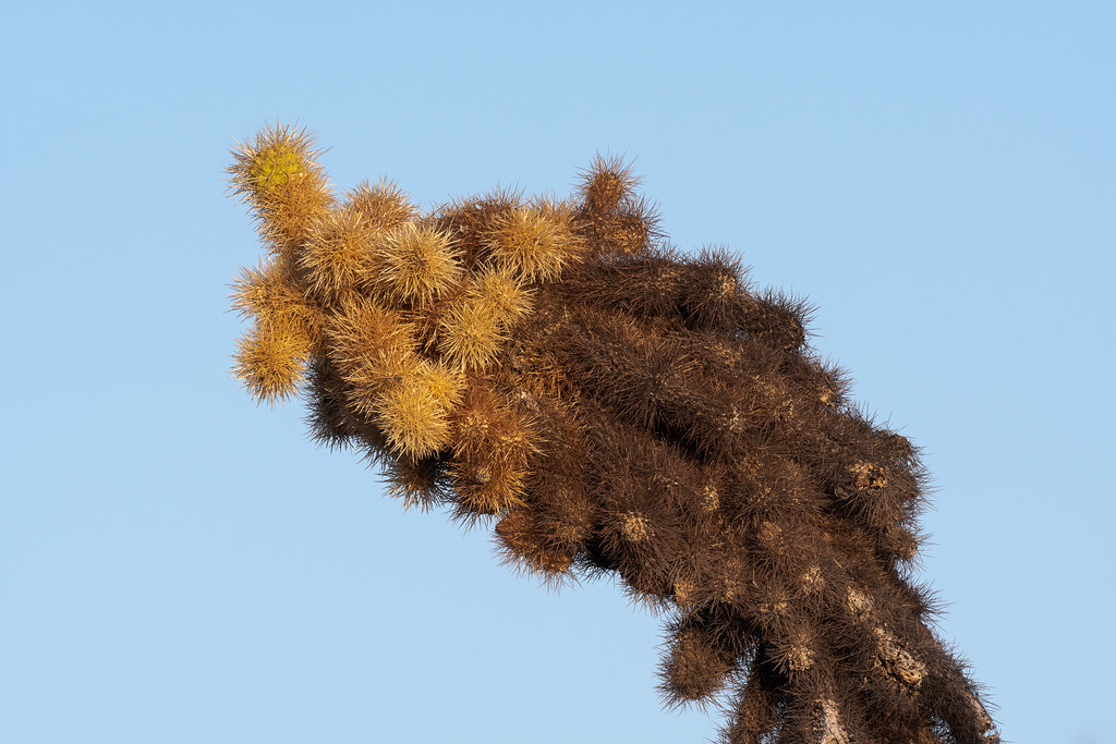 A teddy bear cholla in the shape of a humback whale along the Jane Rau Trail in the Brown's Ranch section of McDowell Sonoran Preserve in Scottsdale, Arizona