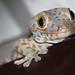Tokay gecko (Gekko gecko) by BenjaminMichaelMarshall