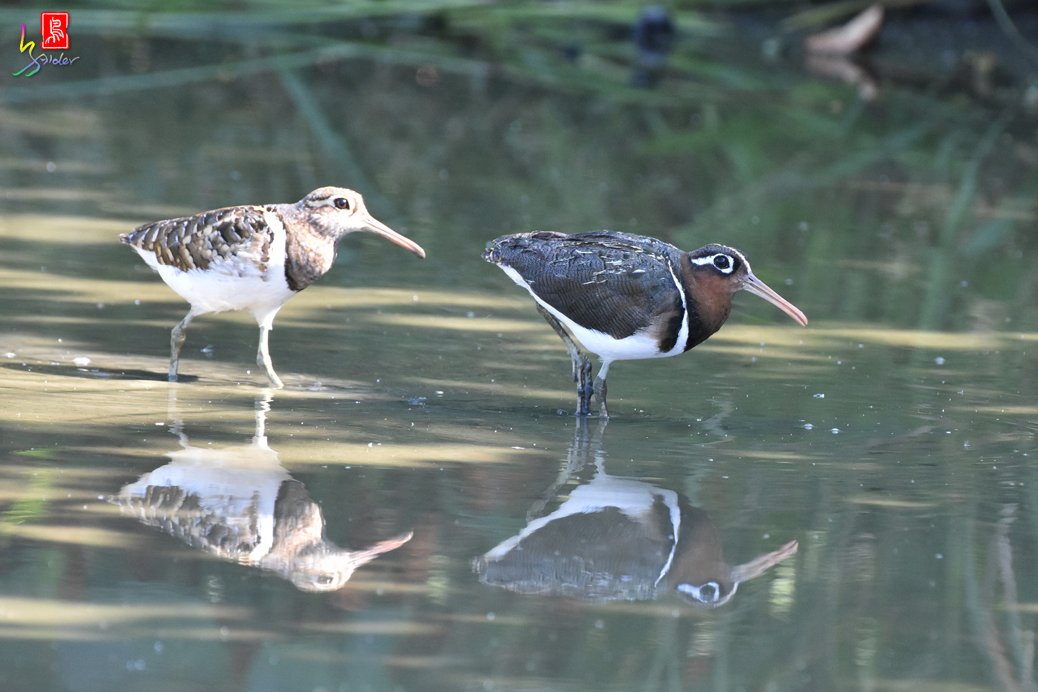 Painted_Snipe_7285