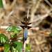 Broad-bodied Chaser -- Libellula depressa ( juvenile male )