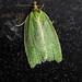 Green Oak Tortrix - Tortrix viridana
