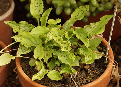 Drimiopsis maculata (= Ledebouria petiolata) - Page 2 42687915061_64f5f85969