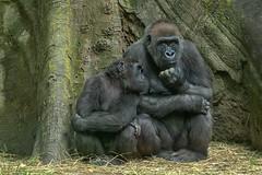 Congo Gorilla Forest, Bronx Zoo, New York