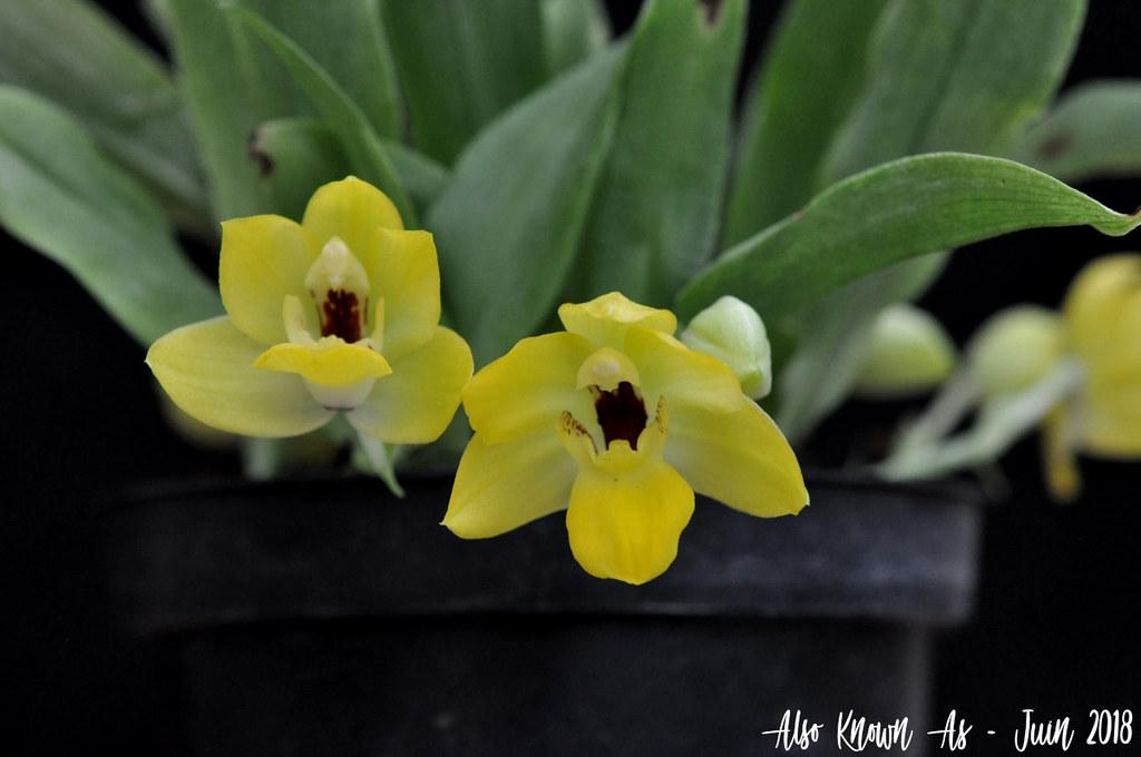 Promenaea xanthina 42760867511_2a9e05064a_b