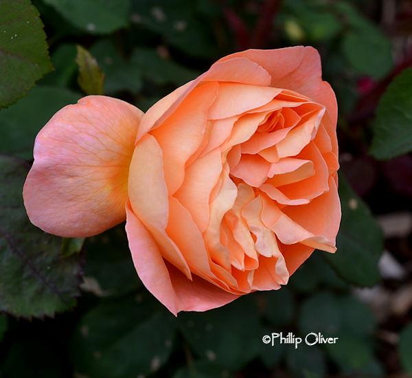 rose-lady-emma-hamilton