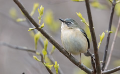 Black-throated Blue Warbler (female)
