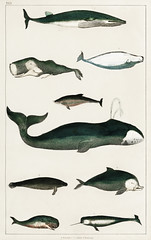 Collection of various whales from A history of the earth and animated nature (1820) by Oliver Goldsmith (1730-1774). Digitally enhanced from our own original edition.
