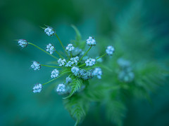 cow parsley with cool colour temp