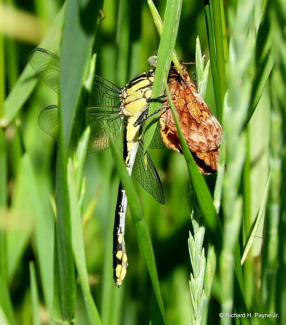 Cobra Clubtail/Meadow Fritillary_N5476