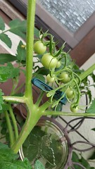 more babytomatos