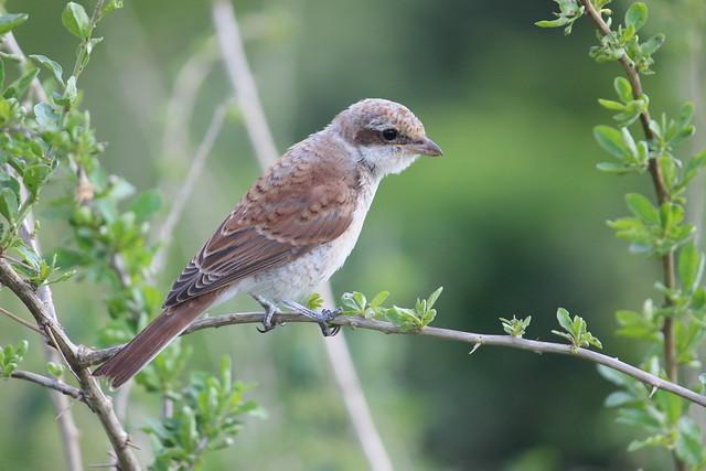 Kleiner Vogel auf dem Drachenberg