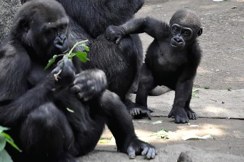 animal ニシローランドゴリラ gorilla ゴリラ zoo ニシゴリラ westerngorilla westernlowlandgorilla 動物園