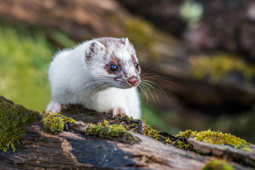 Stoat in ermine 1