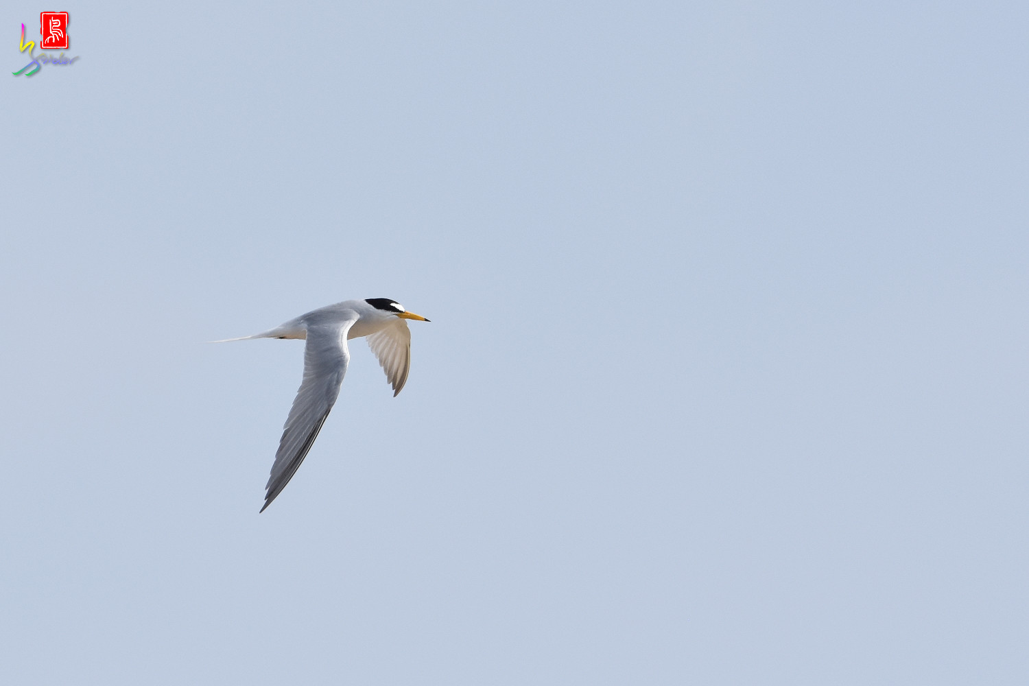 Little_Tern_0202