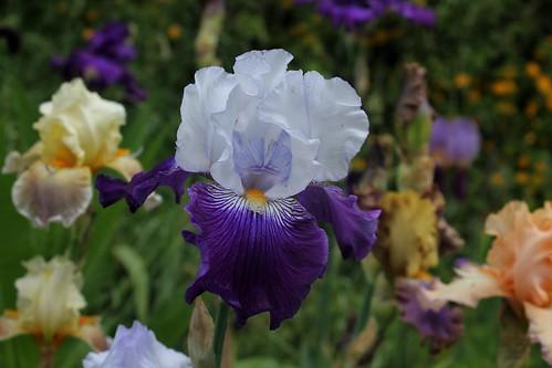 Iris 'Saint-Malo' - R-L. Vasquez-Poupin 2007 28658481588_89840a7c0c