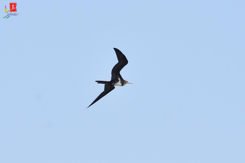 Lesser_Frigatebird_9819