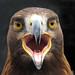An unhappy Golden eagle