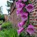 Foxgloves of Chichester