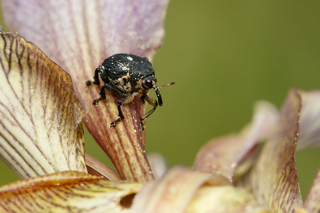Iris weevil on stinking, Canon EOS 80D, Canon EF 100mm f/2.8L Macro IS USM