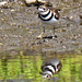 Reflecting On Being A Killdeer by Vidterry