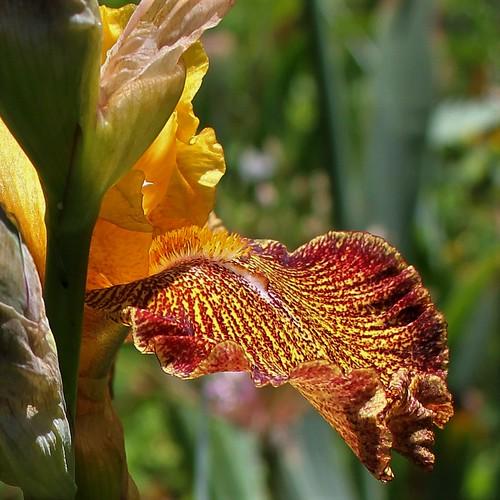 Iris 'Jitterbug' - Keith Keppel 1988 40707759830_7b81c919f5