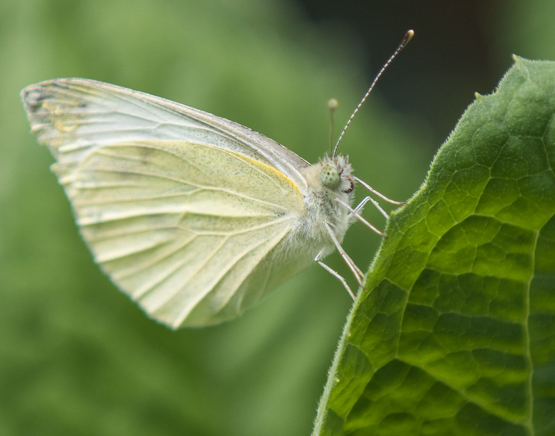 Cabbage White butterfly (?)