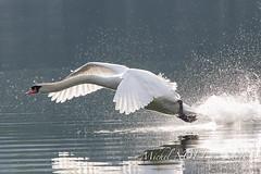 Cygne tuberculé - Cygnus olor - Mute Swan - Michel NOËL © 2018-8137.jpg