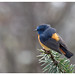 Blue-fronted Redstart Phoenicurus frontalis   - Male by shivanayak