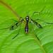 Fold-winged Cranefly - Ptychoptera contaminata