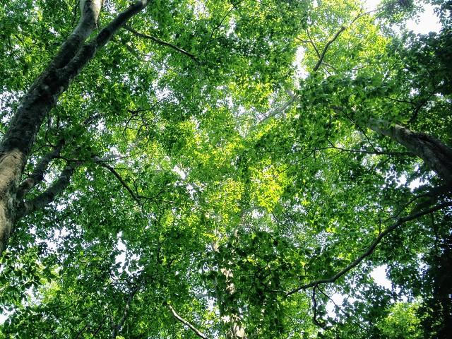 湧谷山 ブナ林 新緑