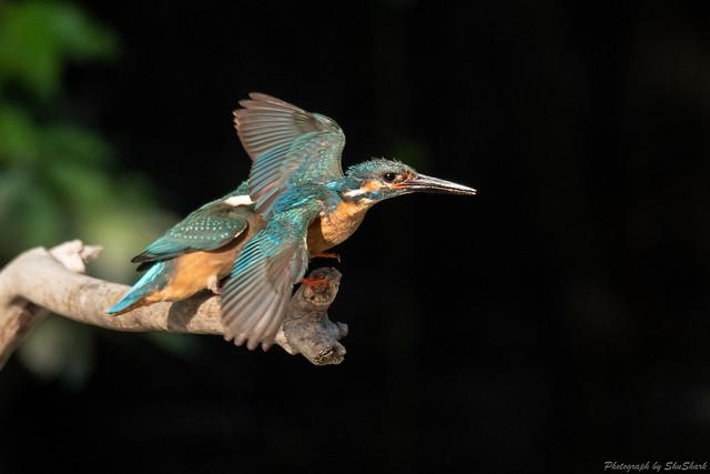 20180602-kingfisher-DSC_3930