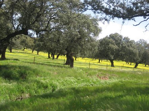 Encinar (Quercus ilex). Real de la Jara (Sevilla).