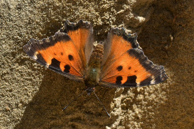 California Tortoiseshell butterfly getting water from the rock