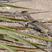 spotted lizard 2 por ikarusmedia