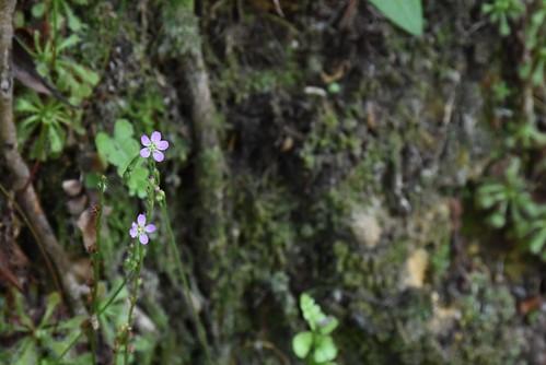 天溪園-小毛氈苔