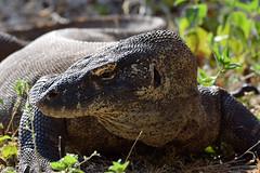 Komodo Dragon (Varanus komodoensis), Komodo Island & NP, East Nusa Tenggara, Indonesia