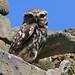 Little Owl - Elmley NNR IMG_6196