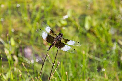 IMG_12055a_Widow_Skimmer_Dragonfly