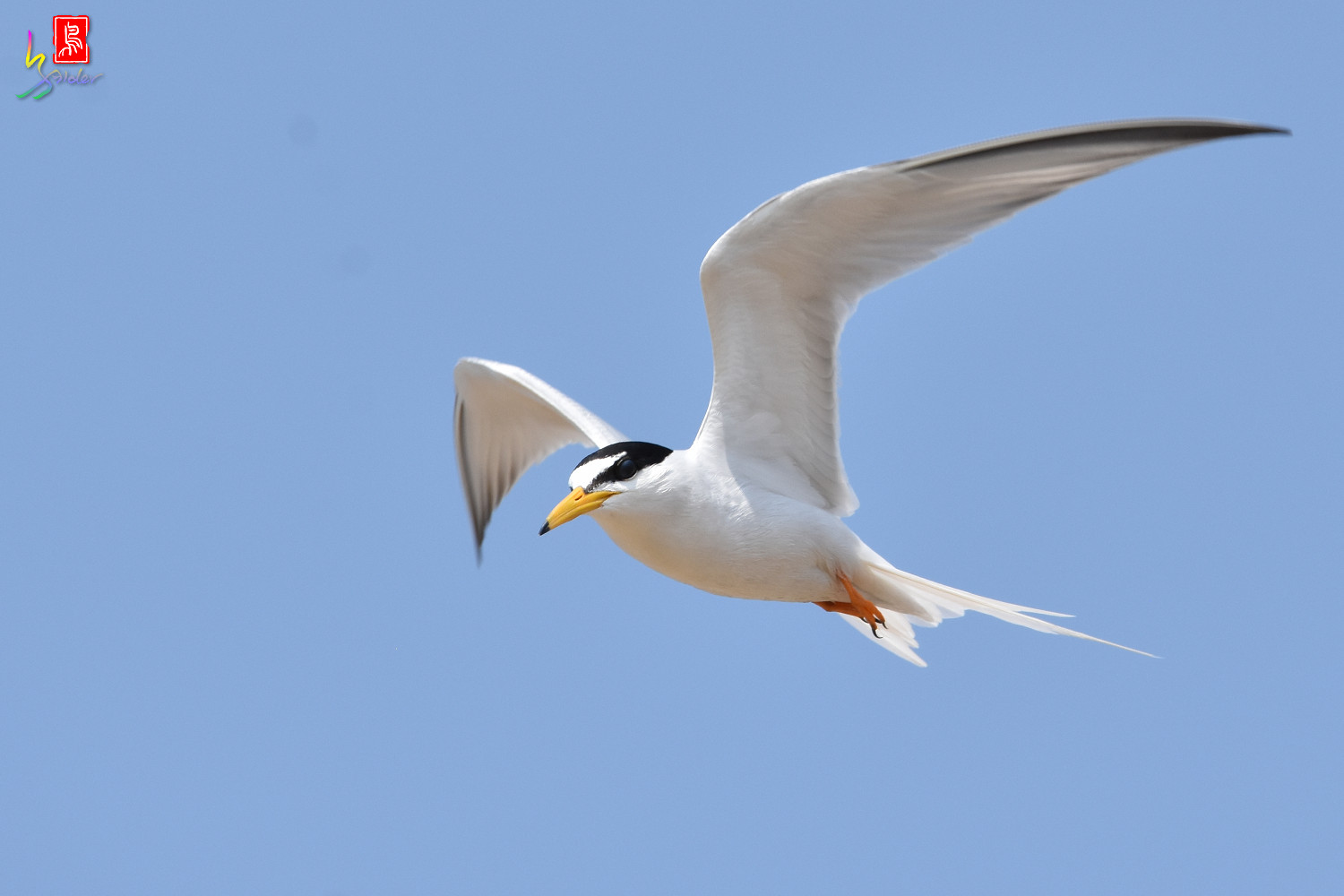 Little_Tern_9979