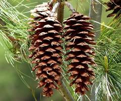 Himalayan Blue Pine Cones - Western Himalayas - 3600m Altitude